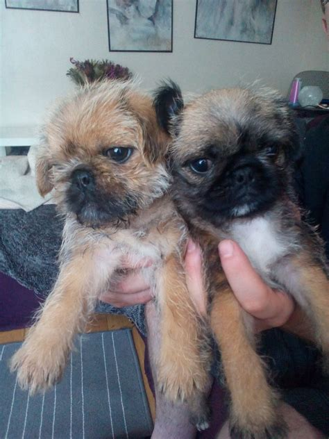 pug x shih tzu puppies pug x shih tzu puppies melton mowbray leicestershire