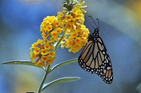 monarch butterfly  yellow flowers  stock photo