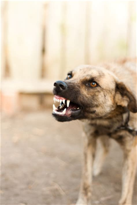 how to your to be aggressive on command away your dogs aggression thedogtrainingsecret