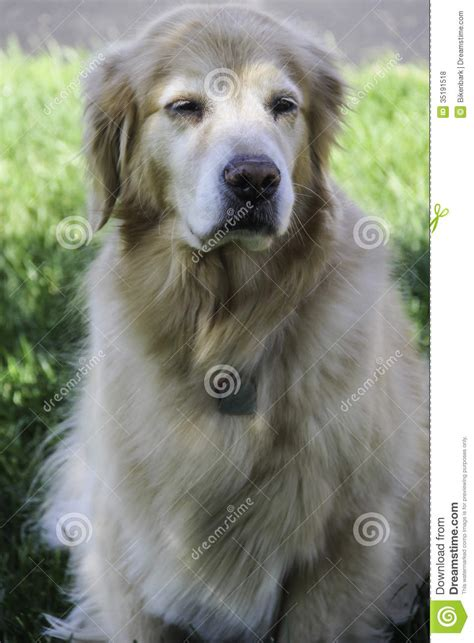 senior golden retriever senior golden retriever royalty free stock photos image 35191518