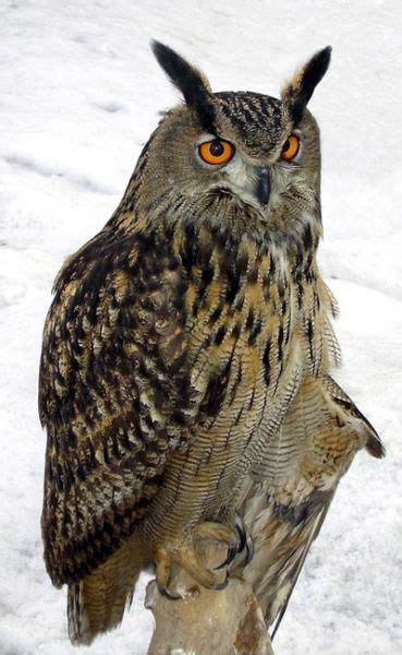 Jp Burung Hantu 1 gambar owlove owl harry potter karakteristik fisik