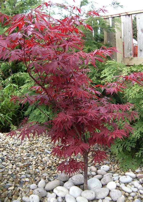 trees for small gardens 1 japanese maples acers garden garden gardening glubdubs