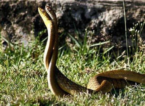 serpientes peleando  de animales