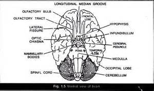 Essay About The Brain by Brain Essay