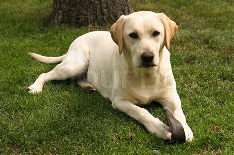 american color labs yellow labrador retriever on green grass lawn stock