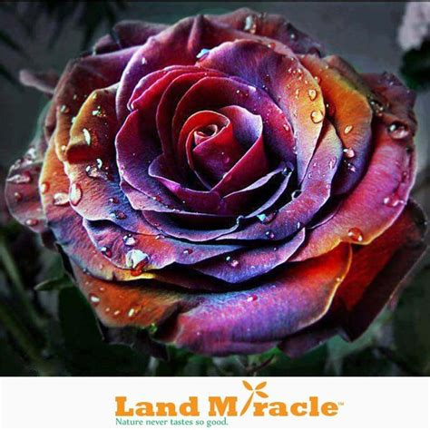 colorful roses new varieties limited the rainbow color seeds ebay