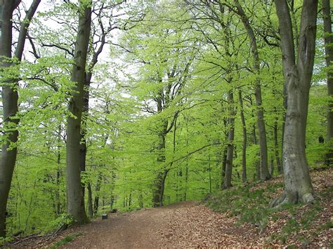 le wald trees planet fagus sylvatica european beech