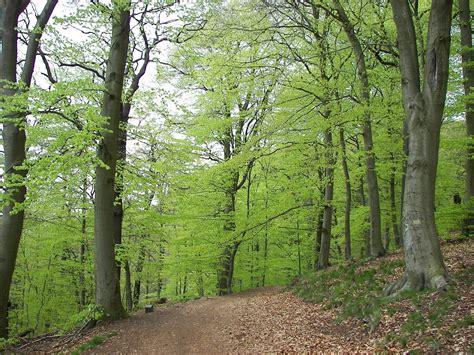 fagus sylvatica trees planet fagus sylvatica european beech