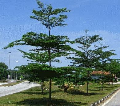 Bibit Pohon Kaliandra Merah jual tanaman hias kolam minimalis saung gazebo pagar
