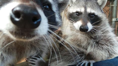 what to do if a raccoon is in your backyard raccoon
