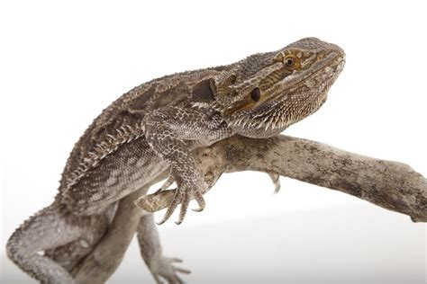 Reptile L by Rabbits Rodents Reptiles