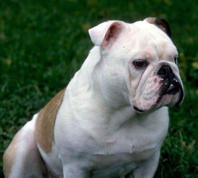 alimentazione bulldog inglese cucciolo il russa il bulldog inglese dogsitter monza