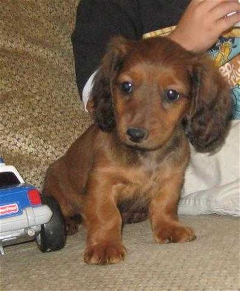 dachshund puppies for adoption haired dachshund puppies quotes