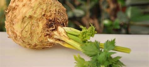 coltivare sedano rapa vendita piantine di sedano rapa