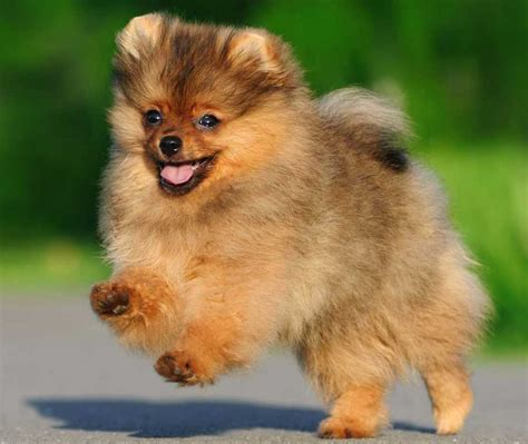 pomeranian orange pomeranian probably the cutest breed k9 research lab