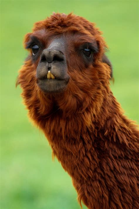funny llama  stock photo public domain pictures