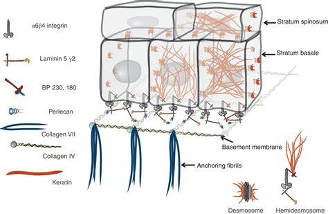 laminin basement membrane 9 mucosa and mucosal sensation pocket dentistry