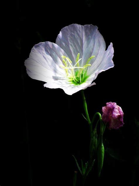 Single Bud photos of single flowers www imgkid the image kid has it