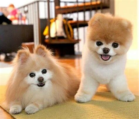 buddy pomeranian boo and buddy precious puppies