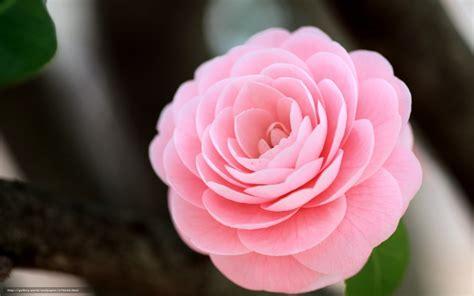 red camellia flower wallpaper 1024x768 resolution download wallpaper camellia flower pink macro free