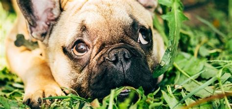 when dogs eat grass a vet s take on why dogs eat grass modern magazine
