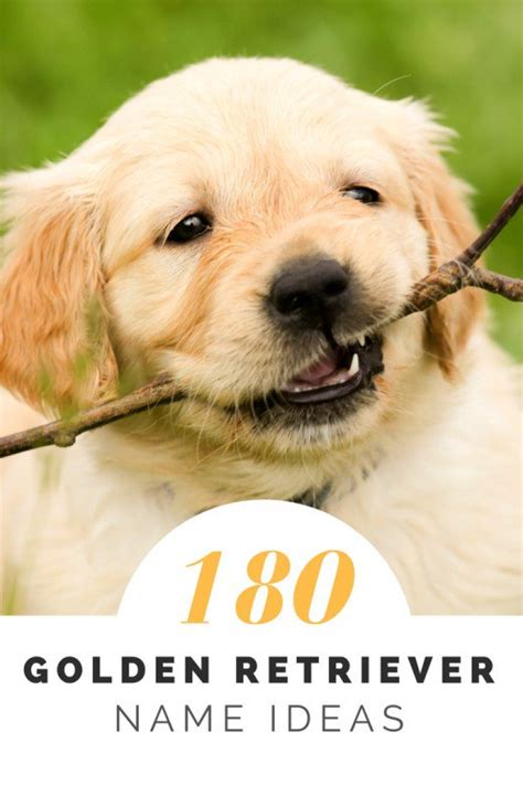golden retriever names golden retriever names images