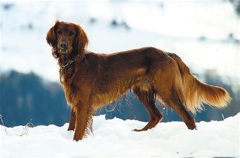 imagenes de setter ingles razas de perros setter ingles caracteristicas y cuidados