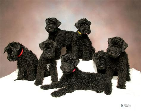 kerry blue terrier puppies for sale kerry blue terrier puppies
