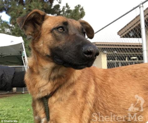 downey pound heartbreaking moment an abandoned german shepherd at a shelter sees owners and