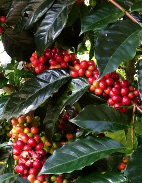 Kopi Bali Kintamani By Rumacoffee kopi kintamani rasa khas kopi bali oleh oleh khas bali