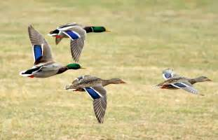 Backyard Conservation Mallard Audubon Field Guide