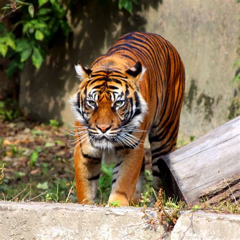 Cool Animals Pictures Of Wild Animals Tigers Freephotosforcommercialuse Com Free Pics Of Animals