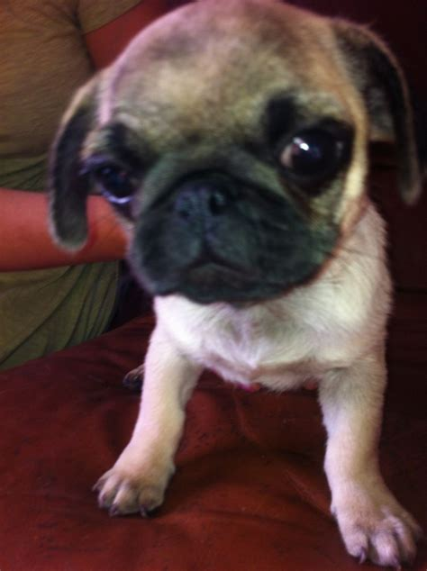 pugs for sale in brighton two pug puppies for sale brighton east sussex pets4homes