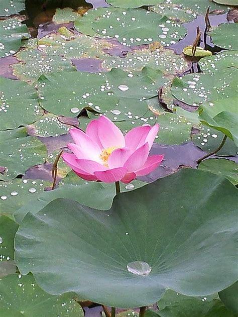 symbolism   lotus archi livingcom