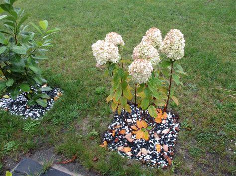 Mit Freundlichen Grüßen Und Bis Morgen Hortensie Bicolor Hydrangea Macrophylla Bicolor G 252 Nstig