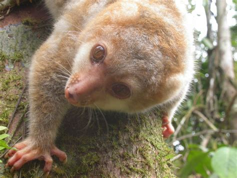 lets draw endangered species black spotted cuscus