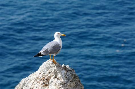 www gabbiano it gabbiano delle isole tremiti sprea fotografia