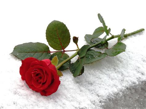 image gallery gambar mawar