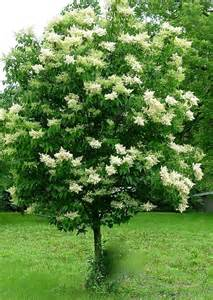 lilac tree 17 best ideas about japanese lilac tree on pinterest
