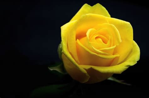 wallpaper bunga mawar kuning 50 gambar bunga mawar terlengkap 2017 warna putih ungu