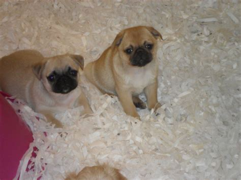 pekingese pug puppies two pug x pekingese pups for sale east pets4homes