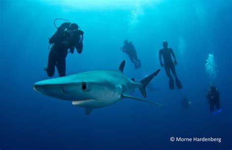 blue dive scuba dive with mako and blue sharks 187 scuba dive courses