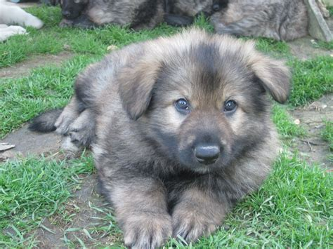 puppies for sale in east german shepherd puppies for sale goole east of pets4homes