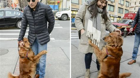louboutina golden retriever hugging in chelsea louboutina has become social media sensation am new york