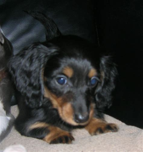 dachshund puppies for sale hair dachshund breeders pictures to pin on