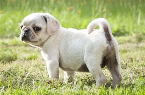 white baby pugs tag for white baby pugs for sale litle pups