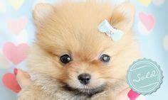 throwback pomeranian puppies for sale pug puppies for sale pug puppies and puppies for sale on