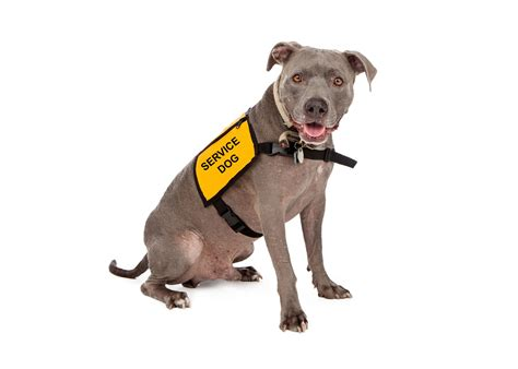what are service dogs used for policy on service emotional support animal use on cus updated source colorado