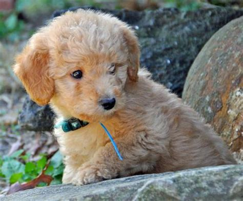 mini labradoodles size the gallery for gt australian labradoodle grown