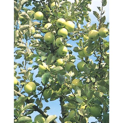 fruit trees at lowes shop 3 8 gallon honeygold apple tree l4228 at lowes